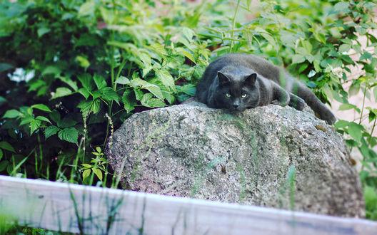 Обои Черный кот греется на камне, среди зелени