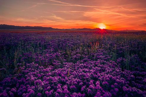 Обои Закат над цветущим полем, ву Angela Chong
