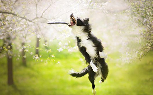 Обои Собака ловит в прыжке палку