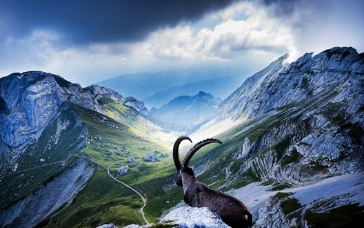 Обои Горный козел любуется природой