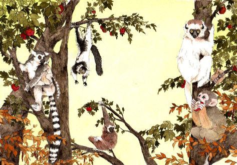 Обои Обезьяны и лемуры на деревьях с красными плодами