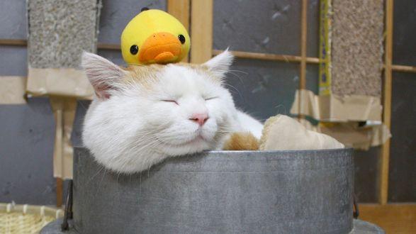 Обои Бело-рыжий кот спит в емкости с желтым утенком