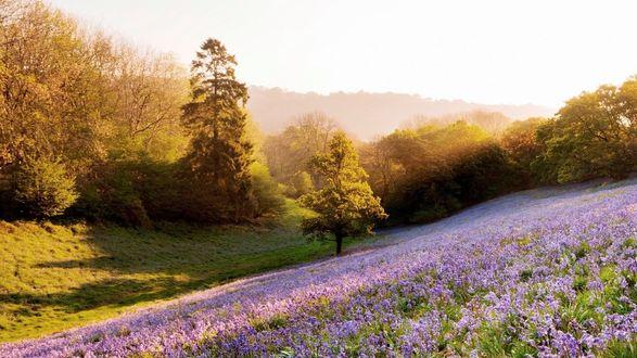 Обои Сиреневые цветы на поляне в весеннем лесу