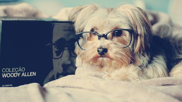 Обои Собака породы Лхаса апсо в очках, лежит рядом с коробкой, на которой изображен молодой Вуди Аллен / Woody Allen в таких же очках (Colecao woody allen)