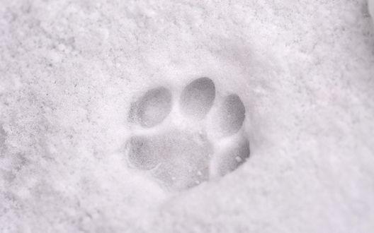Обои Собачий след на снегу