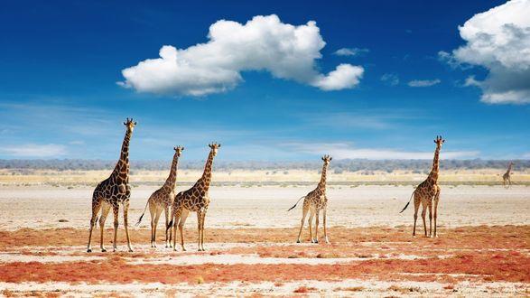 Обои Жирафы в саванне под синим небом
