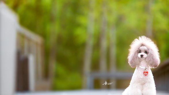 Обои Собака породы пудель в ошейнике с сердечком (wime)