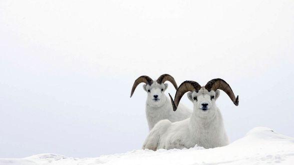 Обои Два горных козла белого цвета