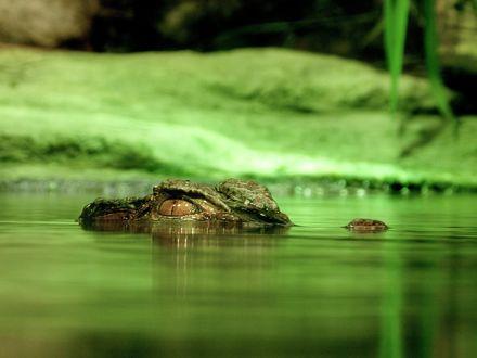 Обои Аллигатор притаился в воде