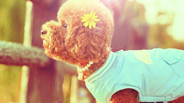 Обои Кудрявый модно одетый песик с цветочком