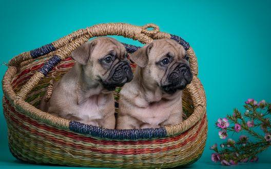 Обои Щенки французского бульдога сидят в плетенной корзине