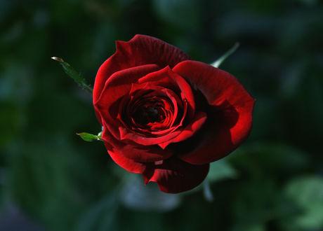 Обои Красная роза на зеленом фоне, ву Anne Vesijаrvi