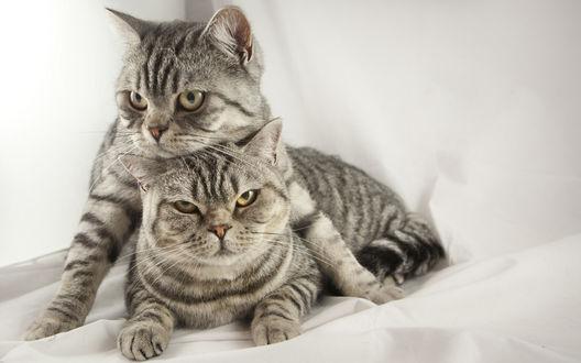 Обои Две кошки на фоне белой материи
