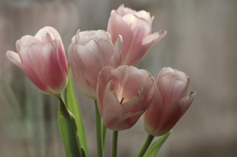 Картинка нежно розовых тюльпанов