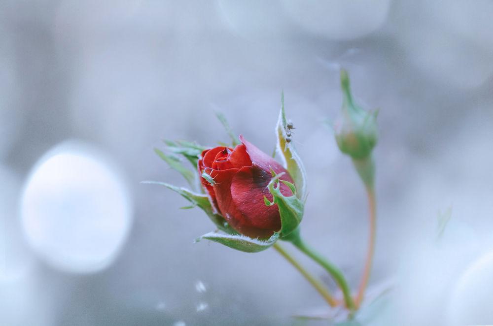 Нераспустившаяся роза