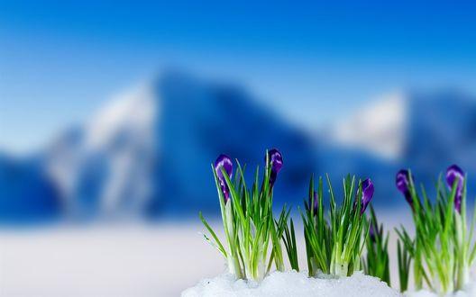 Обои Крокусы проросли из под снега на фоне гор и голубого неба