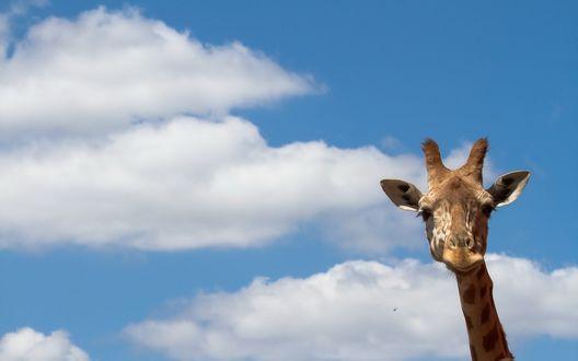 Обои Голова и шея жирафа на фоне голубого неба с облаками