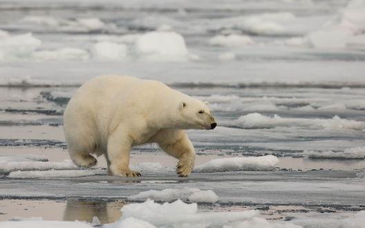 Обои Белый медведь идет по льду