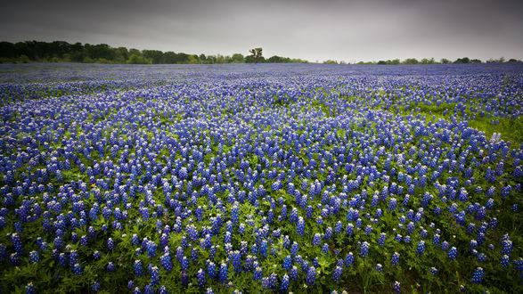 Обои Поле, покрытое синими цветами