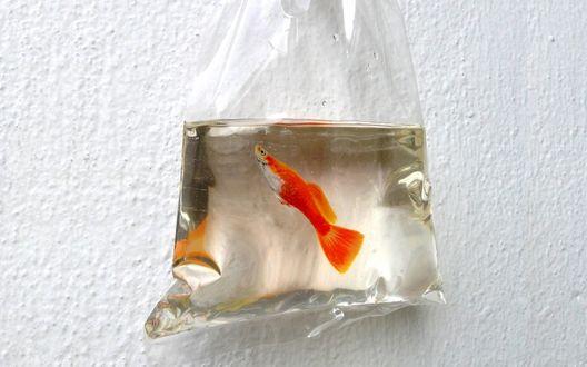 Обои Рыбка оранжевого цвета в прозрачном пакете, реалистичные рисунки художника Keng Lye / Кен Лая