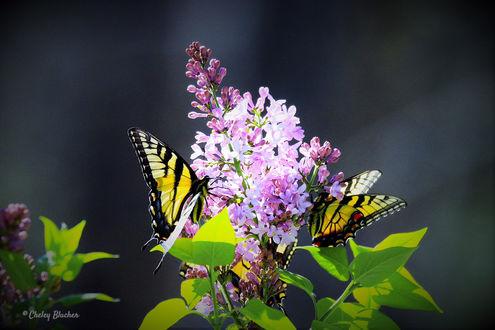 Обои Бабочки сидят на цветущей сирени, ву Cheley Blucher