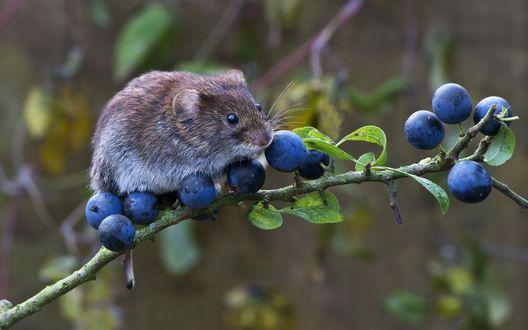 Обои Полевая мышь сидит на ветке с синими ягодами голубики