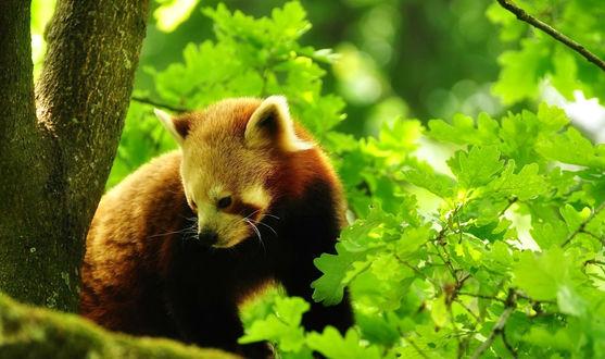 Обои Красная панда среди зеленых листьев