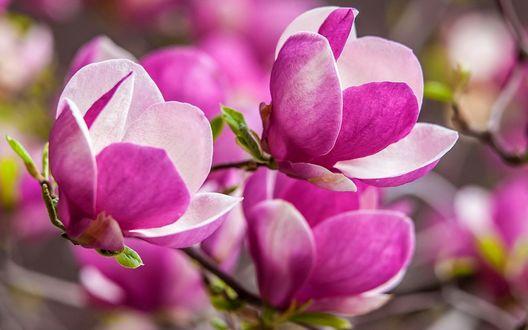 Обои Розовая магнолия на размытом фоне
