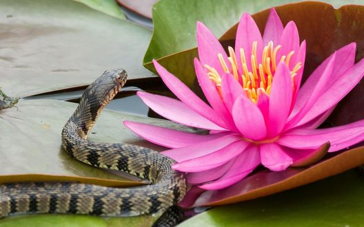 Обои Змея ползет по листьям кувшинки к розовому цветку