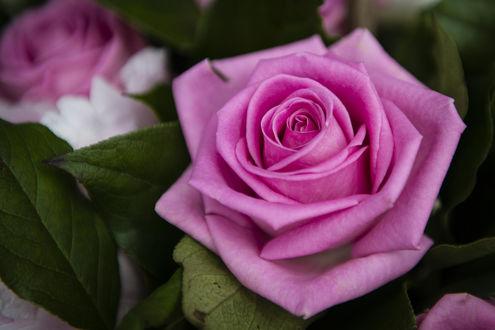 Обои Розовая роза с листьями, фотограф Mohana Anton Meryl