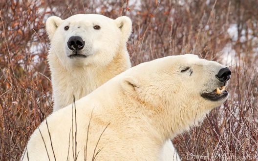 Обои Два белых медведя