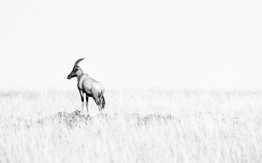 Обои Антилопа стоит в поле