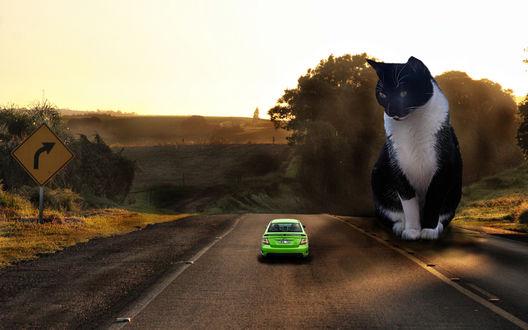 Обои Огромная черно-белая кошка сидит на дороге и смотрит на зеленый автомобиль, проезжающий мимо нее