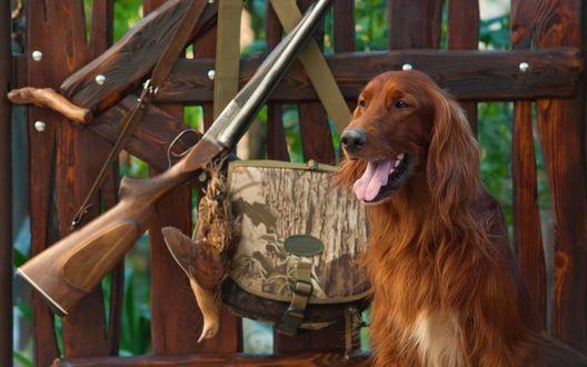 Обои Охотничья собака на фоне развешанных на заборе охотничьих принадлежностей