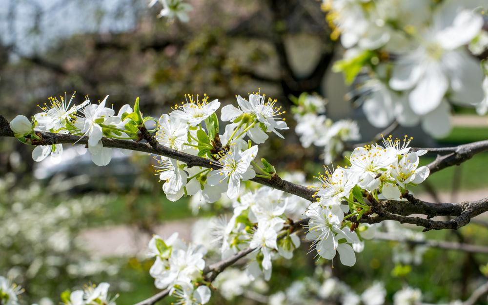 ветка цветущей вишни фото выполнения