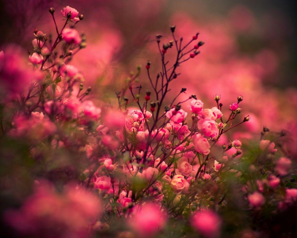 Обои для рабочего стола Розы цвета рассвета