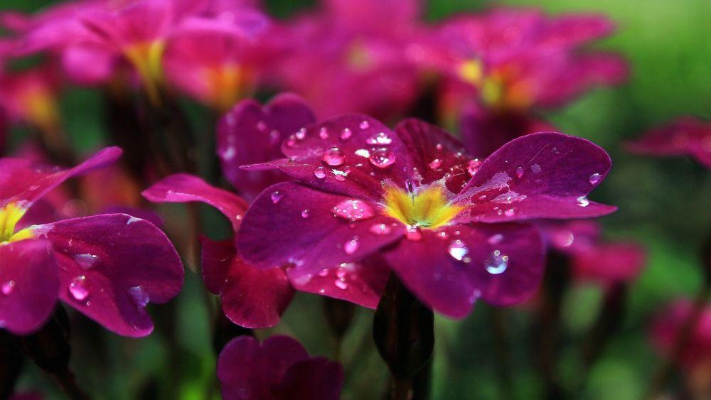 Обои Розовые цветы плюмерии в капельках росы на рабочий стол