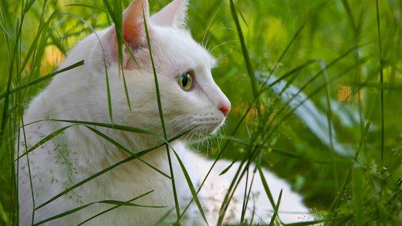 Обои Белая кошка сидит в траве и пристально смотрит куда-то