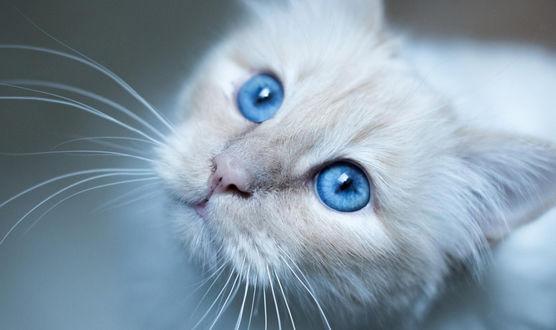 Обои Белая кошка с голубыми глазами