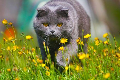 Обои Желтоглазый серый кот идет по лужайке среди желтых цветов