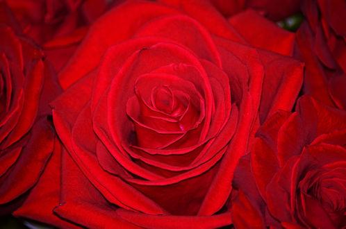 Обои Красные розы крупным планом