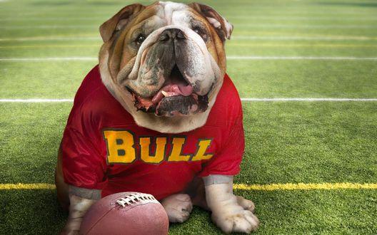 Обои Собака породы французский бульдог в спортивной форме с серьезным видом сидит на поле рядом с мячом