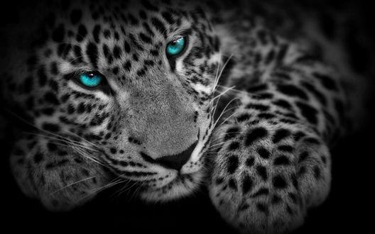 Обои Белый леопард с голубыми глазами на черном фоне