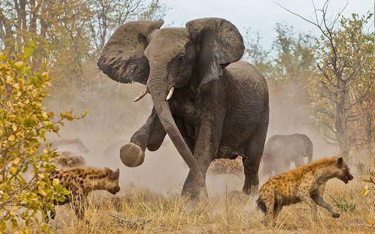 Обои Слон отбивается от нападающих на него гиен