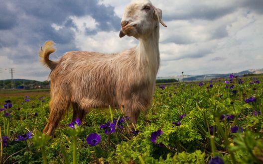 Обои Коза пасется на лугу с сиреневыми цветами