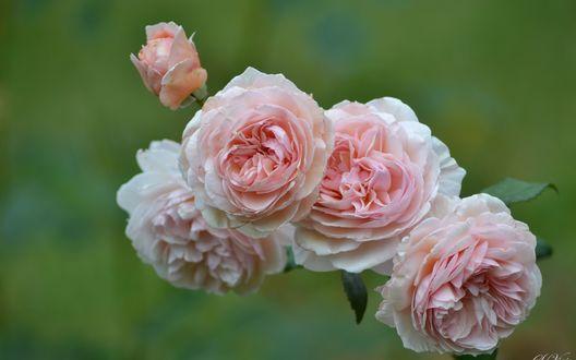 Обои Бело-розовые розы на размытом фоне