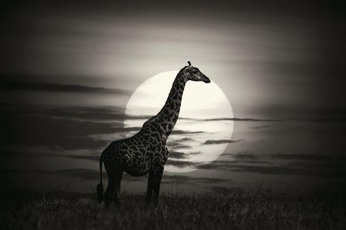 Обои Жираф на фоне полной луны, by Alex Bernasconi