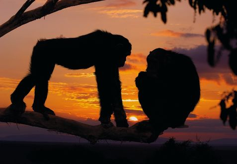 Обои Шимпанзе сидят на суке дерева на фоне заката, by Alex Bernasconi
