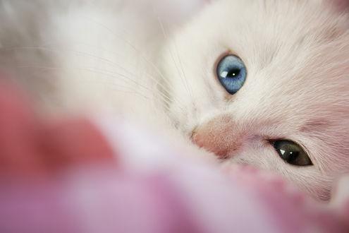 Обои Белый котенок с разноцветными глазами, by eline-w