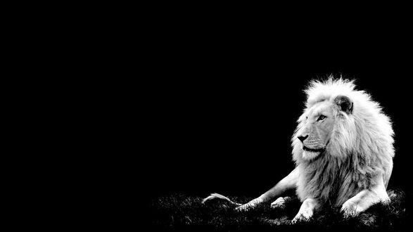 Обои Лев лежит на траве, на черном фоне, монохромная (черно-белая)